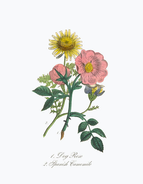Victorian Botanical Illustration of Dog Rose and Spanish Camomile Extremely Rare, Beautifully Illustrated Antique Victorian Engraved Botanical Illustration of the Hand Colored Dog Rose and Spanish Camomile from The American Flora, History of Plants and Wild Flowers: Their Scientific and General Descriptions, Natural History, Chemical and Medical Properties, Mode of Culture and Propagation. A Book of Reference for Botanists, Physicians, Florists, Gardeners and Students. Published in 1853. Copyright has expired on this artwork. Digitally restored. wild rose stock illustrations