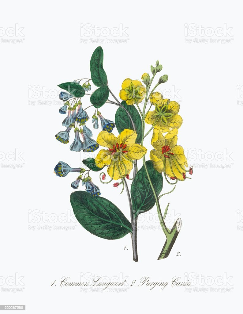 Victorian Botanical Illustration of Lungwort and Cassia vector art illustration