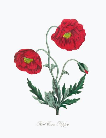 Victorian Botanical Illustration of Red Corn Poppy