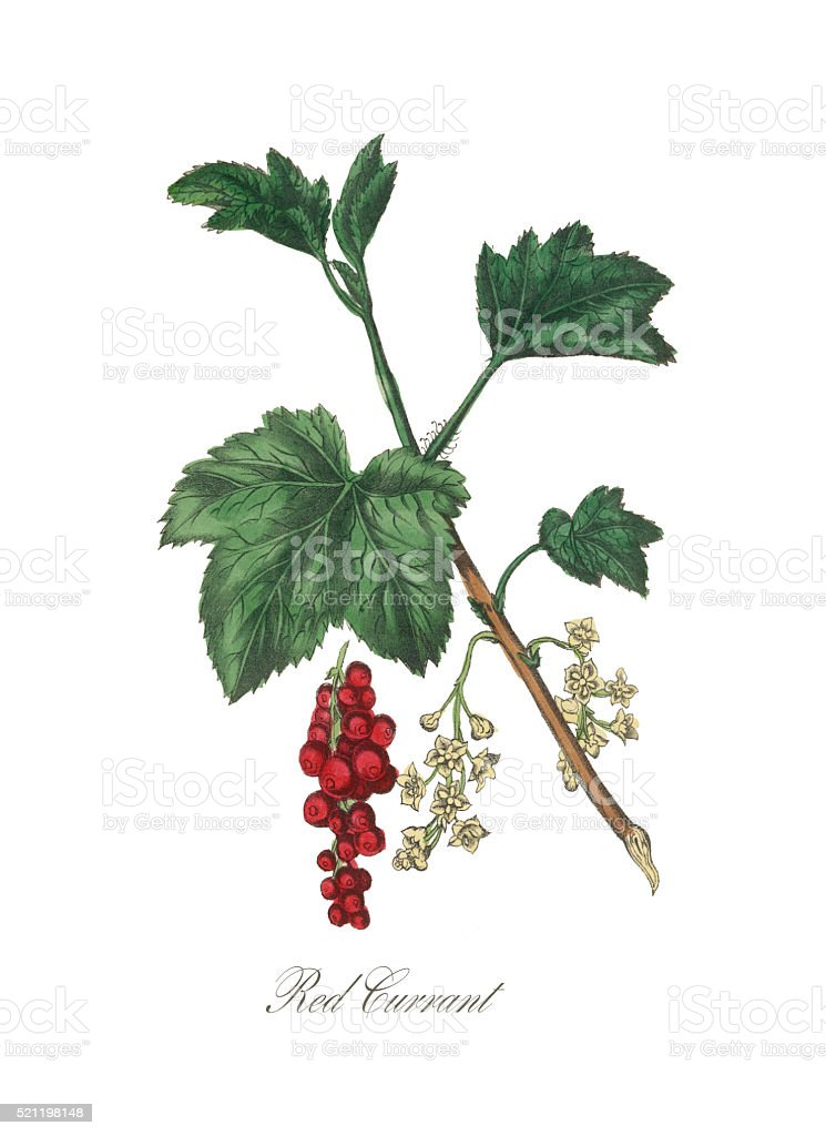 Victorian Botanical Illustration of Red Currant vector art illustration