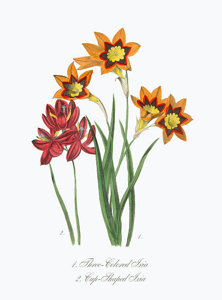 Victorian Botanical Illustration of Three-Colored and Cup-Shaped Ixia Extremely Rare, Beautifully Illustrated Antique Victorian Engraved Botanical Illustration of the Hand Colored Three-Colored and Cup-Shaped Ixia from The American Flora, History of Plants and Wild Flowers: Their Scientific and General Descriptions, Natural History, Chemical and Medical Properties, Mode of Culture and Propagation. A Book of Reference for Botanists, Physicians, Florists, Gardeners and Students. Published in 1853. Copyright has expired on this artwork. Digitally restored. corn lilly stock illustrations