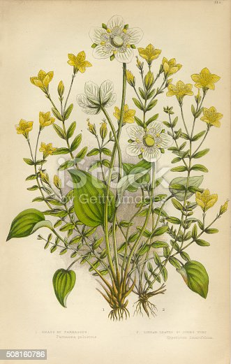 istock Victorian Botanical Illustration: St. John's Wort and Parnassus 508160786