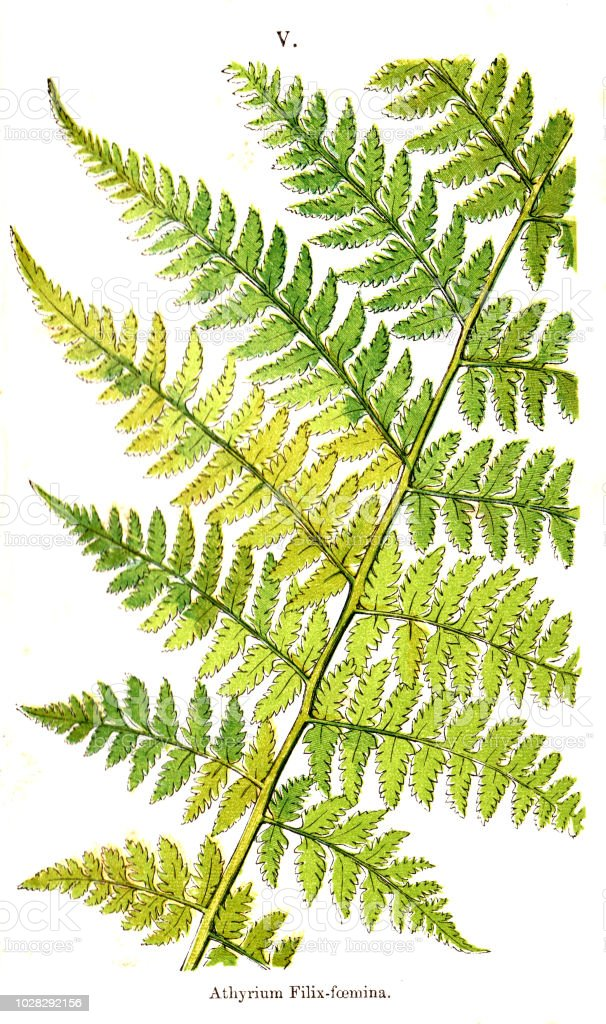 Victorian coloured plate IV engraving of various ferns and their parts from British Ferns and their Allies by Thomas Moore 1867 vector art illustration