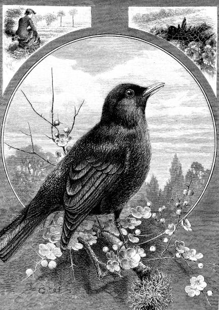 Victorian engraving from a collage page of a blackbird stood on a branch and side pictures of it trapped under a net and a lady ring; 19th century birds and nature 1882 vector art illustration
