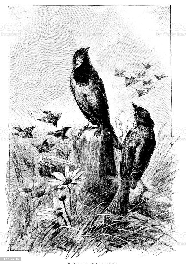 Victorian engraving larks on the edge of a cornfield; 19th century birds and countryside wildlife 1890. vector art illustration