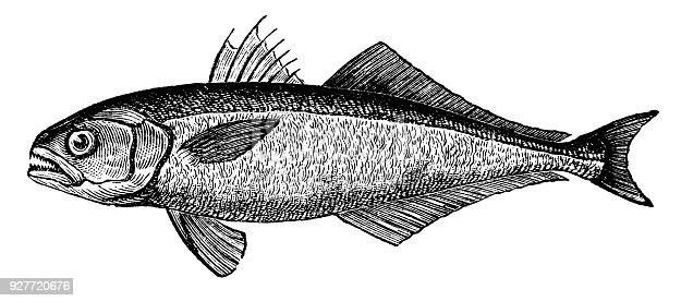 victorian engraving of a bluefish.  Digitally restored from a late 19th Century encyclopedia.