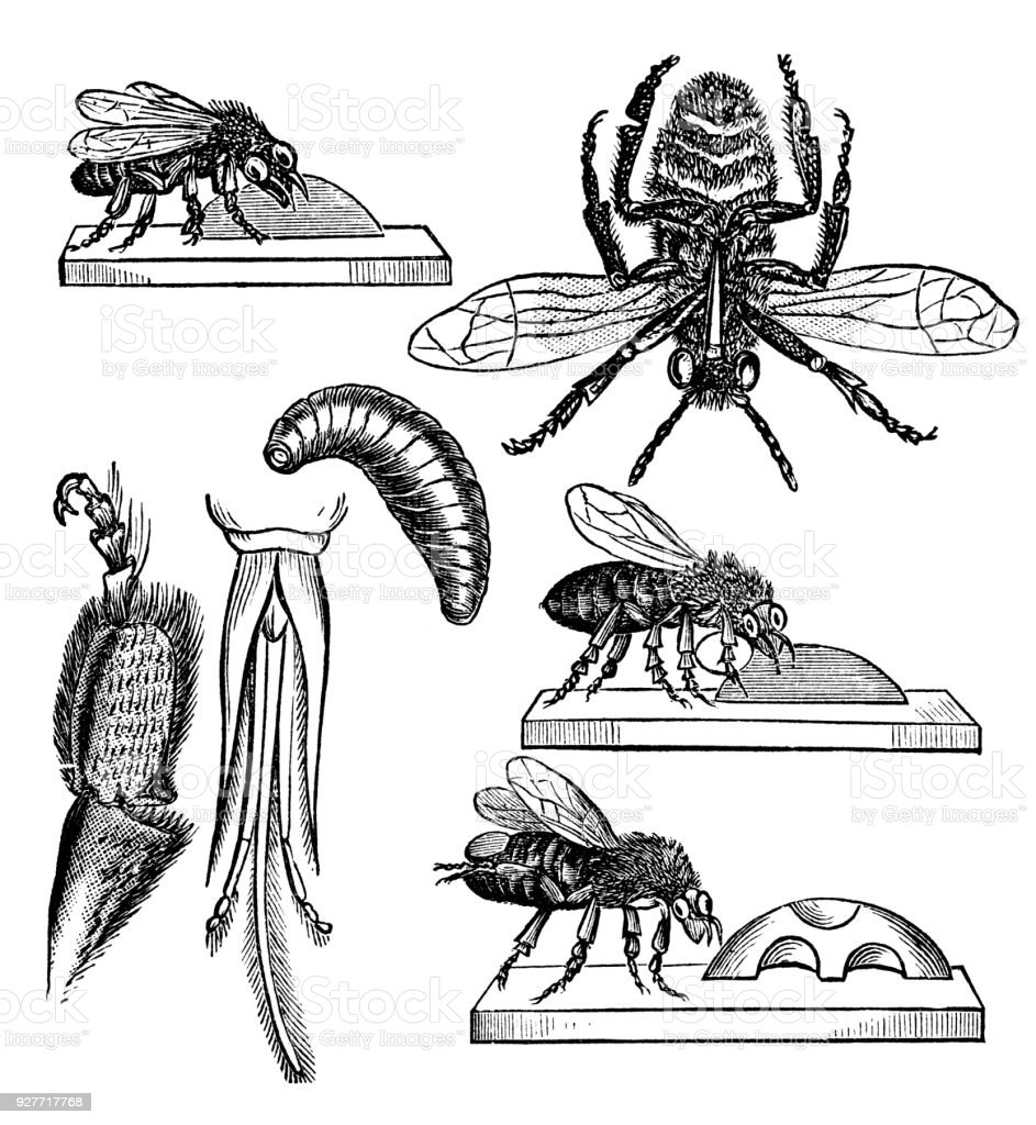 Victorian engraving of a diagram of parts of a bee stock vector art victorian engraving of a diagram of parts of a bee royalty free victorian engraving of ccuart Images