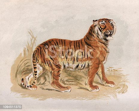 Vintage engraving of a Victorian engraving of a Tiger, 19th Century
