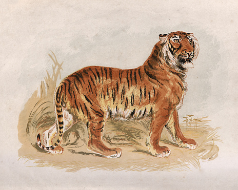 Victorian engraving of a Tiger