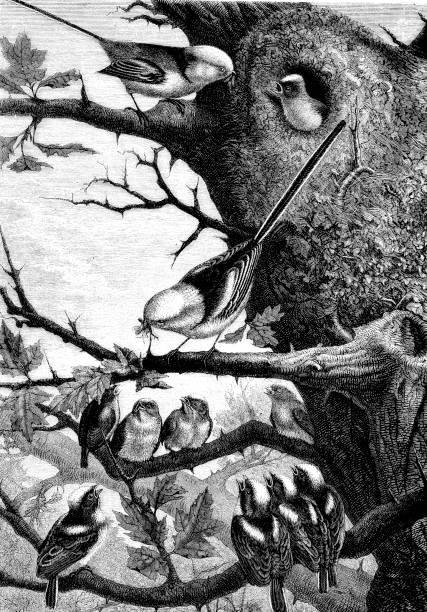 나무;에 긴 꼬리가 달린된 가슴의 빅토리아 조각 19 세기 자연 그림 1883 - 오목눈이 stock illustrations