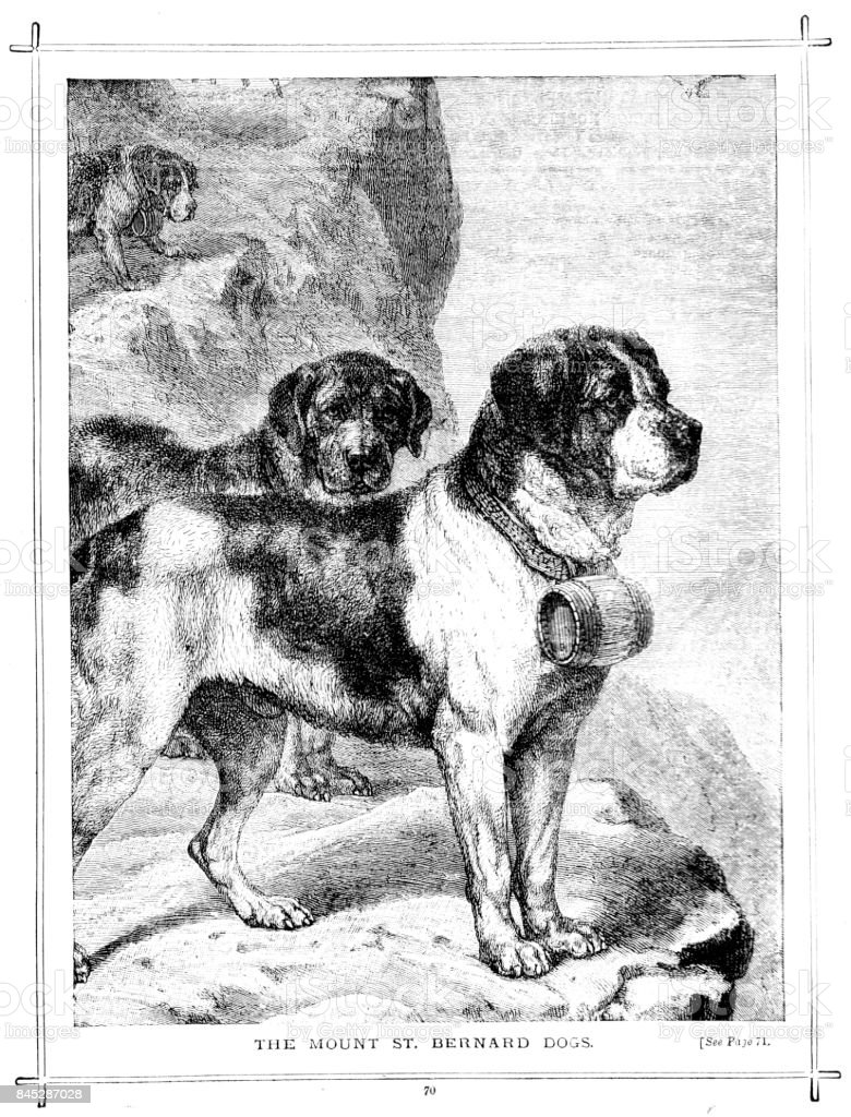 Victorian illustration entitled 'The Mount St Bernard Dogs'; 19th century working dogs and pets 1889 vector art illustration