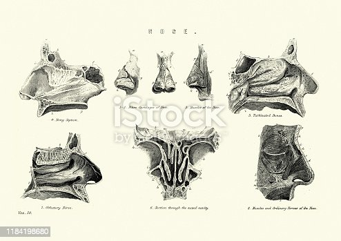 Vintage engraving of a Victorian medical diagram of the human nose, 19th Century