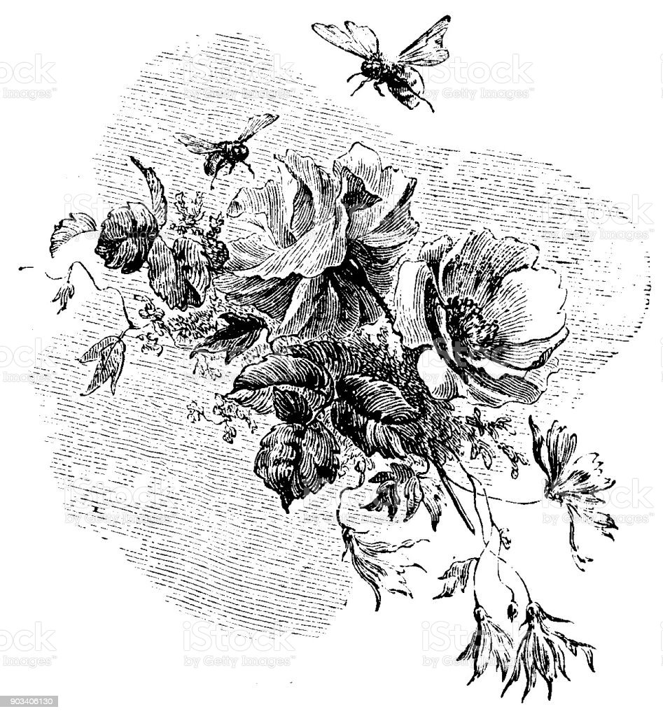 Victorian story illustration; a pair of beed flying down to feed upon a bunch of flowers; 19th century insects and entomology bees, flowers, wildlife 1879 vector art illustration