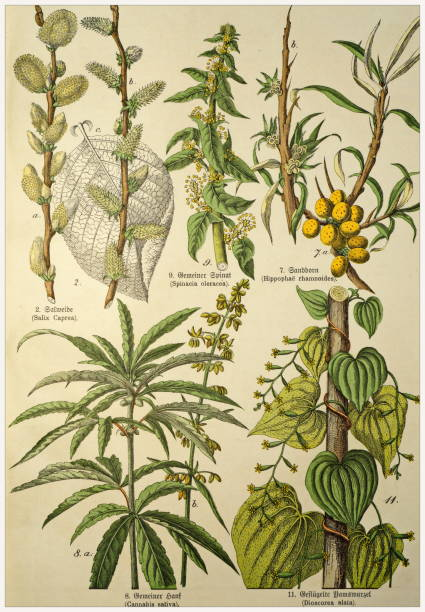 Victorian style botanical lithographs with corresponding caption in Latin and old German script. Munich 1880-1889,  Germany. Munich 1880-1889,  Germany.  Victorian style botanical lithographs with corresponding  caption in Latin and old German script. 1880 1889 stock illustrations