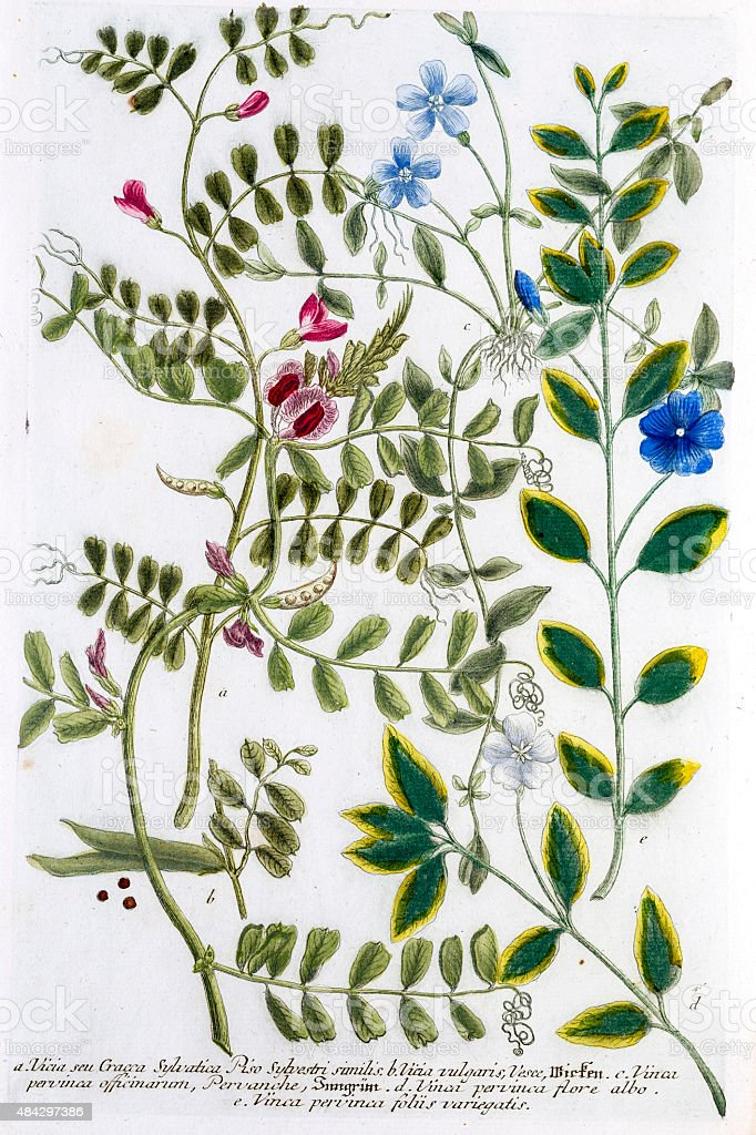 Vinca, periwinkle and vetches, a 18th century botanical illustration vector art illustration
