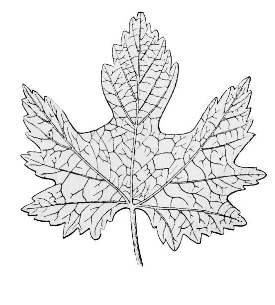 vine leaf fossil - fossilized leaves stock illustrations