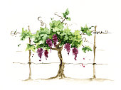 Grape on the trellis, watercolor illustration