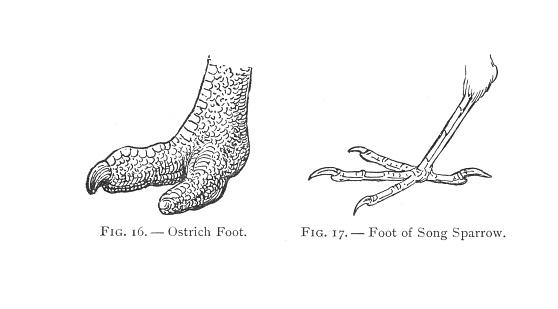 Vintage Antique Engraving Illustration, Bird Feet