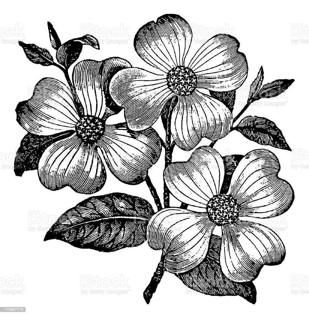 Dogwood Flower Line Drawing : Vintage clip art and illustrations flower stock vector