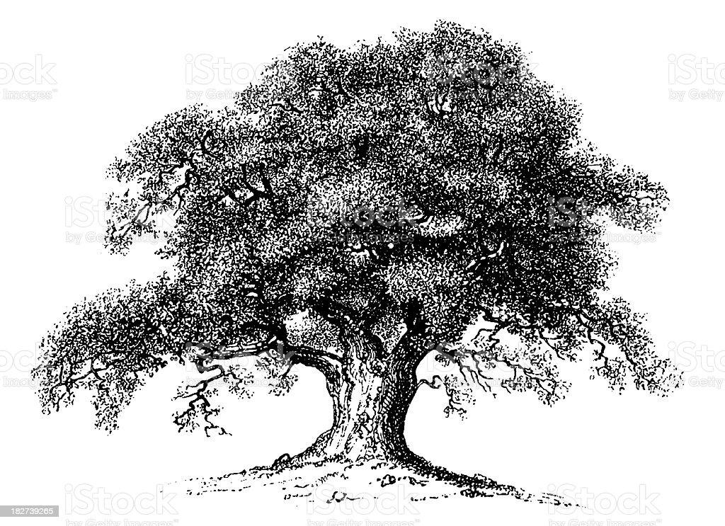 Vintage Clip Art and Illustrations | Oak Tree vector art illustration