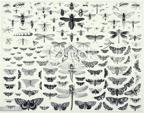 istock Vintage Engraved Antique, Insects of the Orders Hymenoptera, Diptera, Lepidoptera and Odonata Engraving Antique Illustration, Published 1851 1255467317
