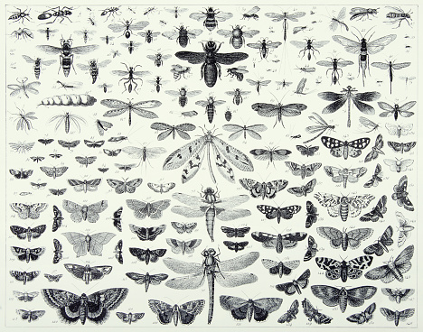 Vintage Engraved Antique, Insects of the Orders Hymenoptera, Diptera, Lepidoptera and Odonata Engraving Antique Illustration, Published 1851
