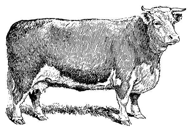 Vintage engraving of a cow vector art illustration
