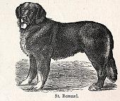 istock Vintage illustration of a St Bernard rescue dog, 19th Century 1339626588