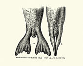 istock Vintage illustration of Hind flippers of a ringed seal 1252759501