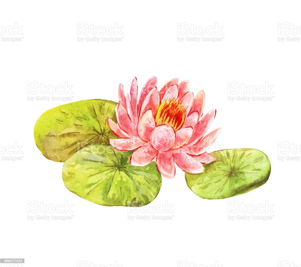 Vintage Picture Of Lotus Watercolor Feng Shui Flower Stock Vector