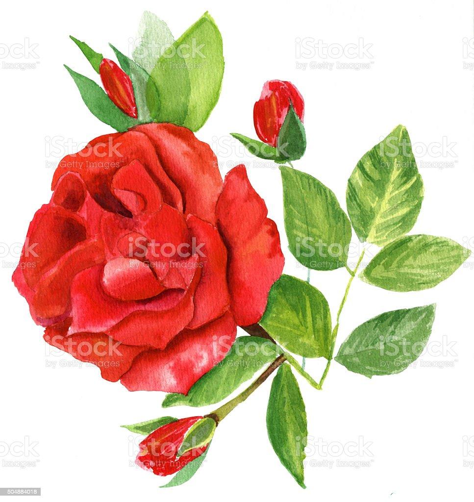 Style Vintage Aquarelle Dessin Dune Rose Rouge Sur Fond Blanc
