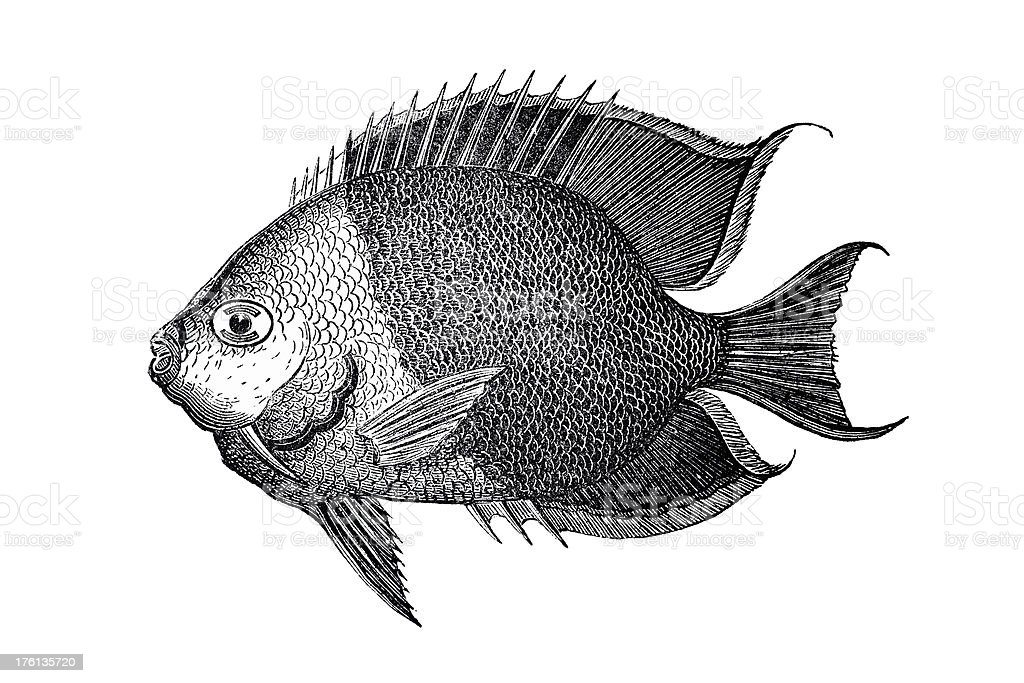 Vintage Tropical Fish Etching royalty-free stock vector art