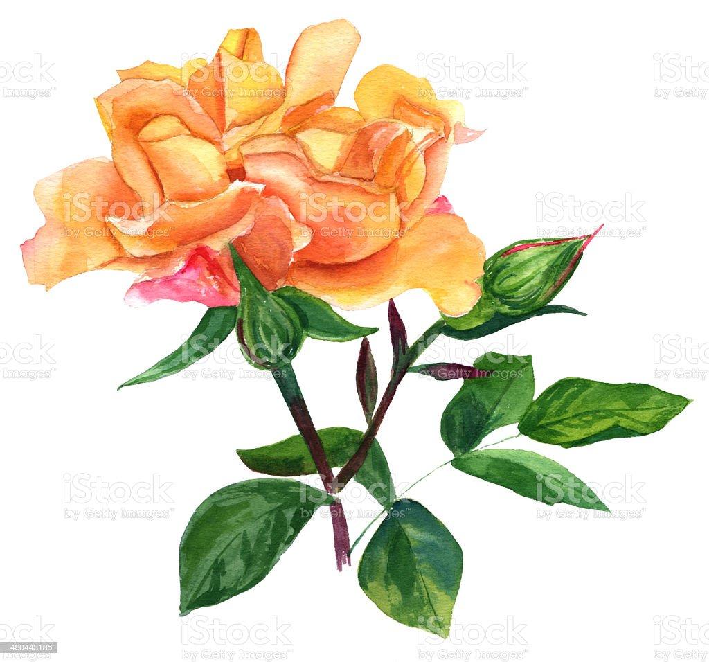 vintage watercolour yellow rose on white background stock