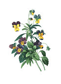 Viola tricolor | Redoute Flower Illustrations