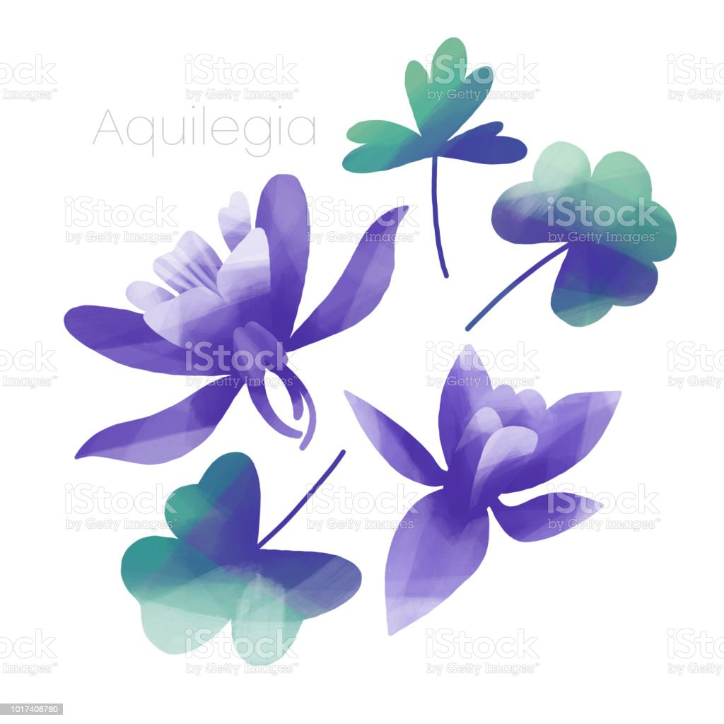 Violet Columbine Flowers And Leaves Stock Vector Art More Images