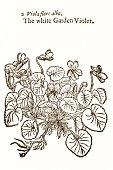 Violet plant, 17 century botanical illustration