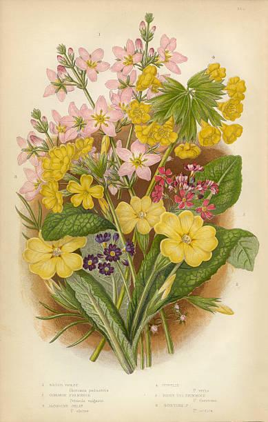 Royalty Free Evening Primrose Flower Clip Art, Vector ...