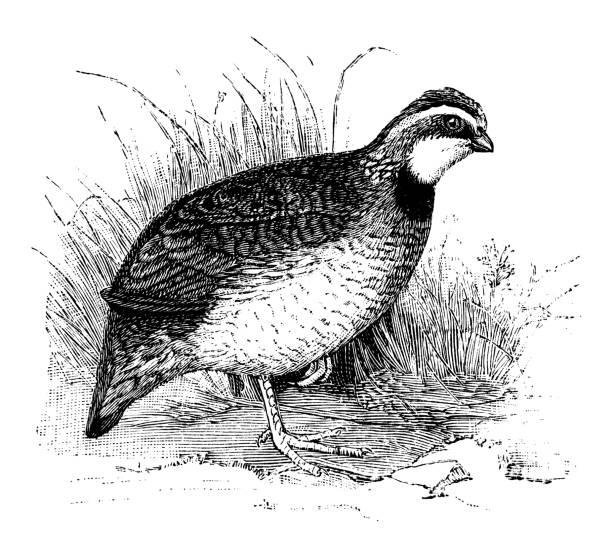 Virginia Quail vector art illustration
