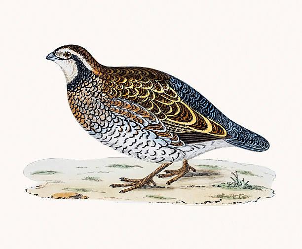 Virginian Partridge vector art illustration