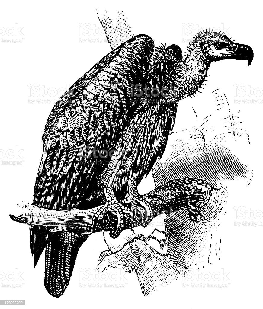 Vulture | Antique Animal Illustrations royalty-free vulture antique animal illustrations stock vector art & more images of 19th century