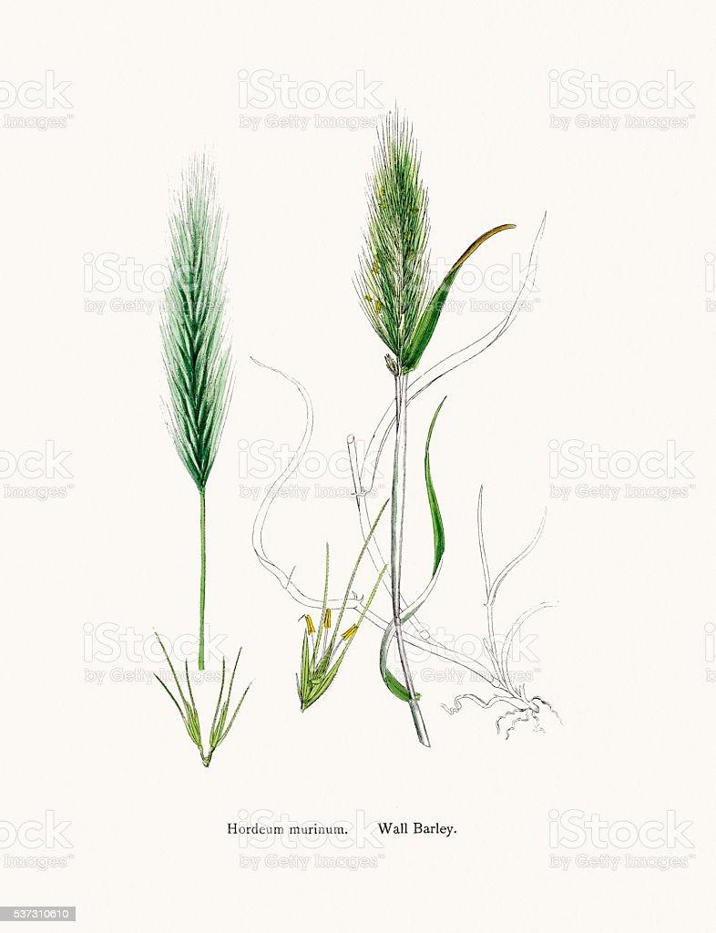 Wall barley grass vector art illustration