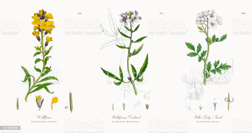 Wallflower, Cheiranthus Cheiri, Victorian Botanical Illustration, 1863 vector art illustration