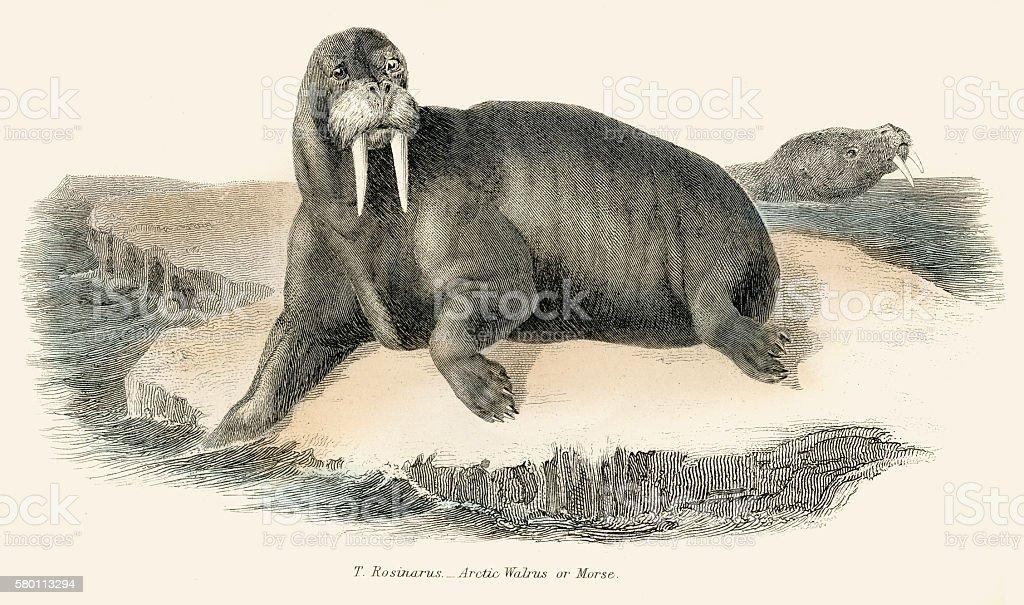 Walrus illustration 1803 vector art illustration