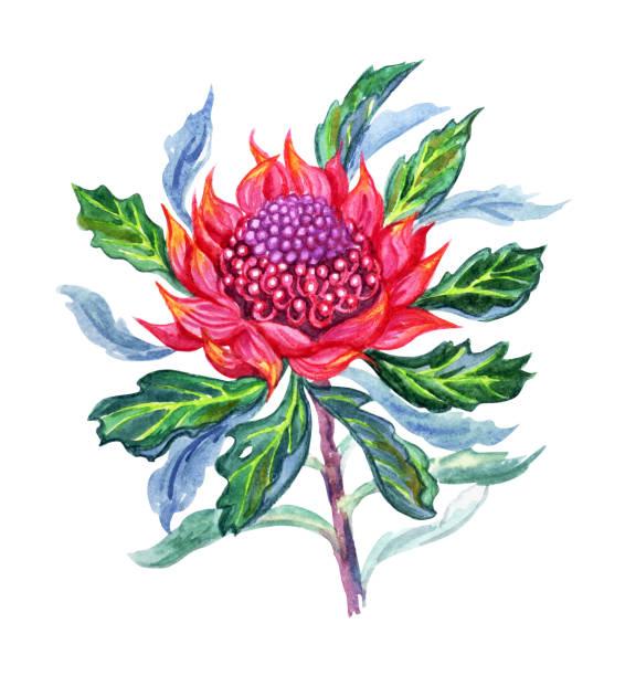 Royalty Free Waratah Clip Art Vector Images