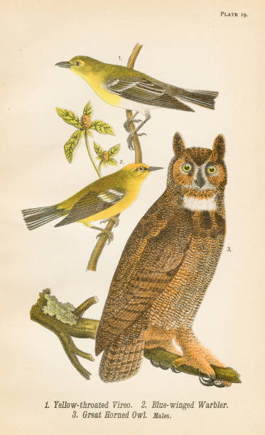 warbler owl vireo bird lithograph 1890 - great horned owl stock illustrations, clip art, cartoons, & icons