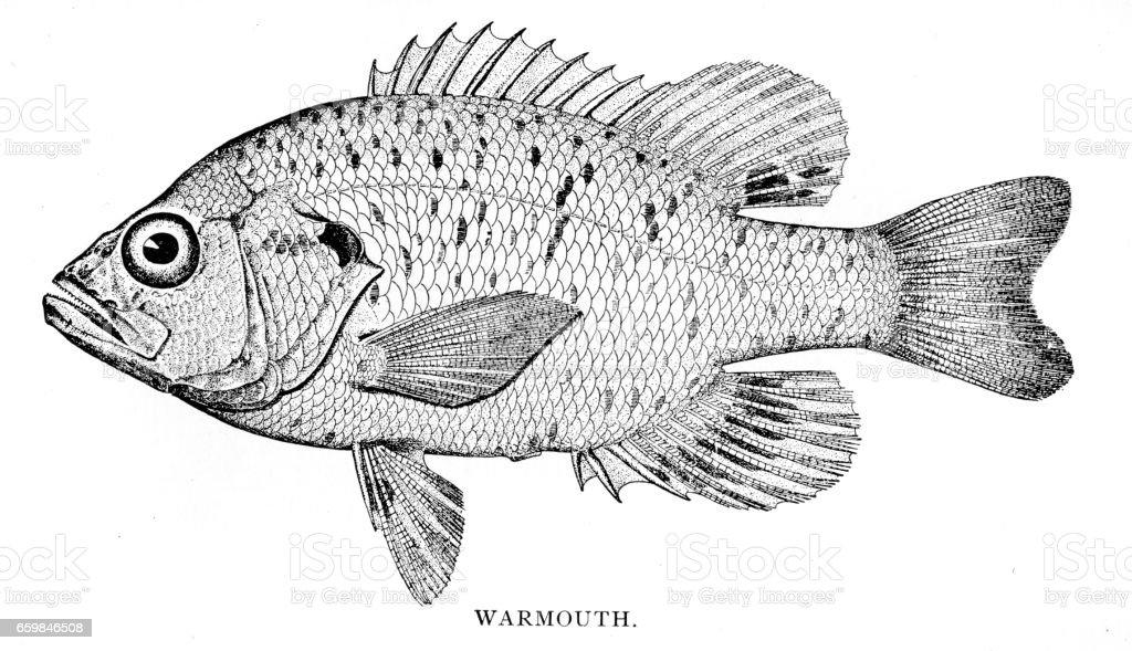 Warmouth fish engraving 1898 vector art illustration