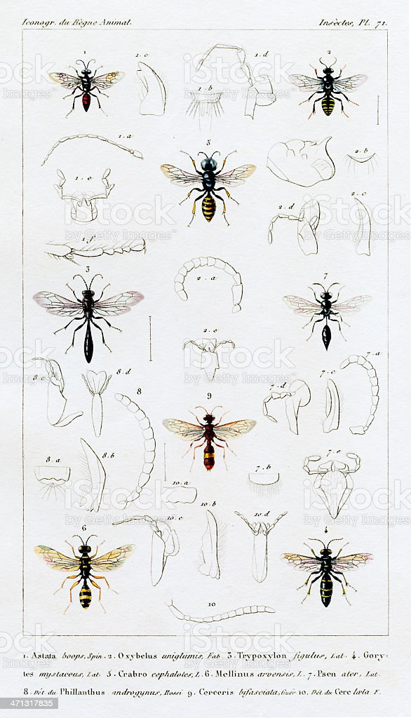 wasps and hornets, antique scientific print, 1834 royalty-free stock vector art