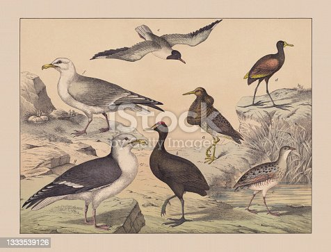 istock Water and wading birds (Ciconiiformes), hand-colored chromolithograph, published in 1882 1333539126
