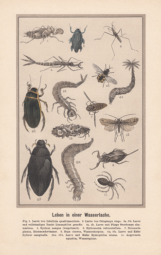 Water insects in a biotope. Hand-colored lithograph, published in 1889.