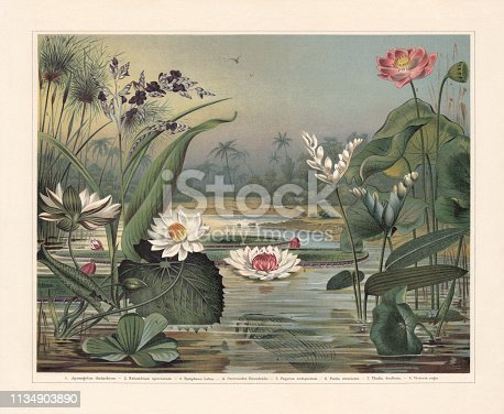 Water plants: 1) Cape-pondweed (Aponogeton distachyos, or Aponogeton distachyon); 2) Indian lotus (Nelumbo nucifera, or Nelumbium speciosum) with fruit (a); 3) White Egyptian lotus (Nymphaea lotus); 4) Madagascar laceleaf (Aponogeton madagascariensis, or Ouvirandra fenestralis); 5) Cyperus papyrus (or Papyrus antiquorum); 6) Water cabbage (Pistia stratiotes); 7) Powdery alligator-flag (Thalia dealbata); 8) Queen Victoria's water lily (Victoria amazonica, or Victoria regia). Chromolithograph, published in 1897.